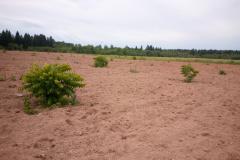 Black walnut plant