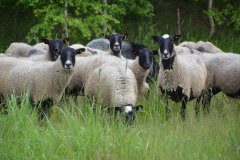 Romanov sheep breed