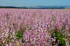 Salvia plantation