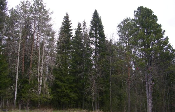 Woodland for sale in Russia (Yaroslavl region) – from 600 to 6000 hectares
