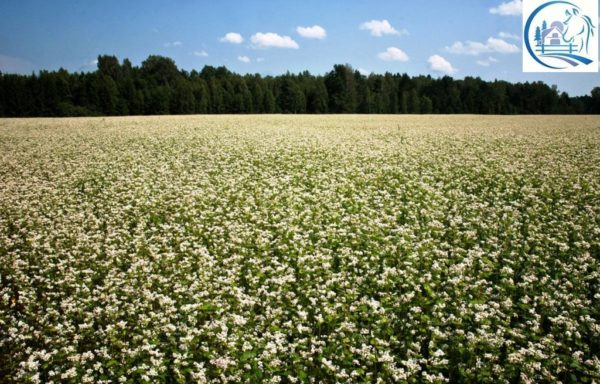 Buckwheat farm for sale in Russia (Altai) 5000 hectares + agricultural machinery