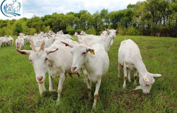 Goat farm for sale in Russia – Belgorod region
