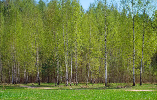 Sale of young forest in Russia